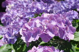 薄紫の本紫陽花の写真・画像素材[4547324]