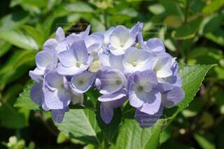 薄紫色の紫陽花の写真・画像素材[4554675]