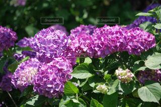 濃いピンク色の紫陽花の写真・画像素材[4554679]
