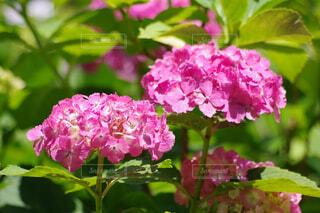 ガクの縁がギザギザの紫陽花の写真・画像素材[4554682]
