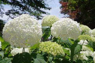 白い紫陽花の写真・画像素材[4554686]