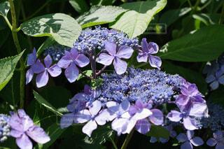 紫色のガクアジサイの写真・画像素材[4571259]