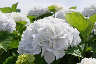 純白の紫陽花の写真・画像素材[4571271]