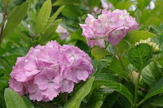ピンク色の紫陽花の写真・画像素材[4947128]