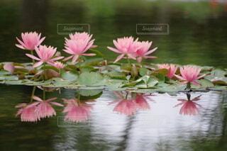 水面に映る睡蓮の写真・画像素材[4947132]