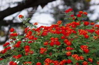 二色の鮮やかな赤い花の写真・画像素材[4947141]