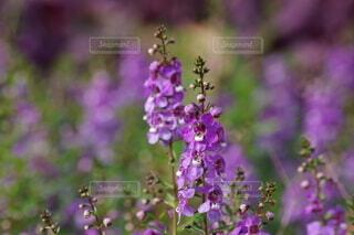 薄紫の可愛い花の写真・画像素材[4947160]