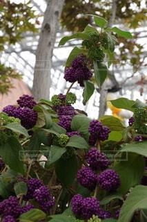 ぶどうのような花の写真・画像素材[4947164]