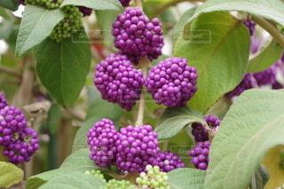 紫式部と言う名の花の写真・画像素材[4947165]