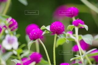 紫の丸く可愛い花の写真・画像素材[4960999]