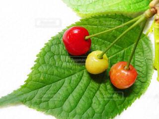 緑の葉に乗せた三色さくらんぼの写真・画像素材[4334813]