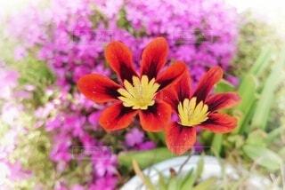 庭の片隅に咲くスパラキシスの写真・画像素材[4351722]