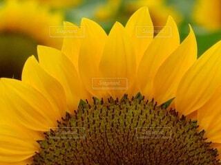 向日葵の花クローズアップの写真・画像素材[4424426]