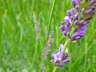 開花したラベンダー (ラベンダー観察記録)の写真・画像素材[4526460]