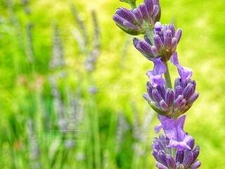 開花したラベンダーのズームアップ (ラベンダー観察記録)の写真・画像素材[4536190]