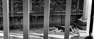 フェンスの向こうに寝そべる猫の写真・画像素材[4437620]