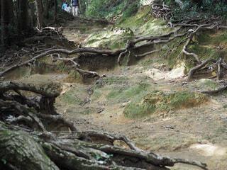木の根が生える山道の写真・画像素材[4321122]