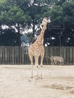 キリンとシマウマのコラボの写真・画像素材[4328555]