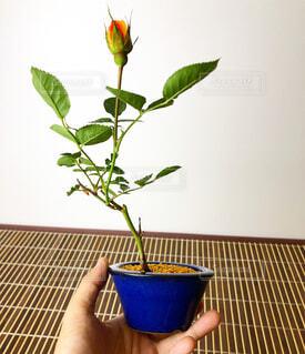 ミニ盆栽の写真・画像素材[4372421]