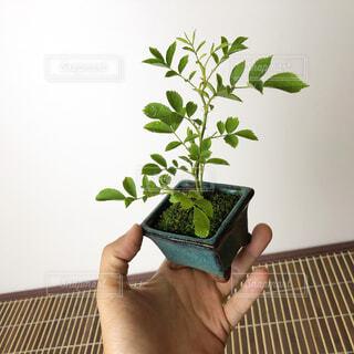 ミニ盆栽の写真・画像素材[4373469]