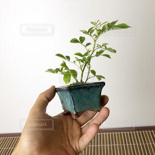 ミニ盆栽の写真・画像素材[4373471]