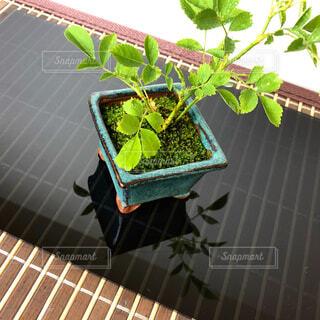 ミニ盆栽の写真・画像素材[4373470]