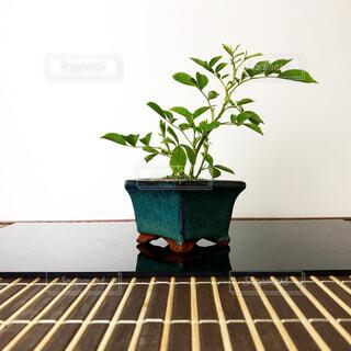 ミニ盆栽の写真・画像素材[4373478]