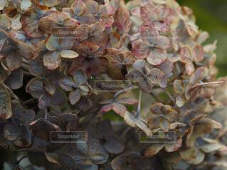 紫陽花の写真・画像素材[4342543]