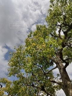 大きな樹と雲の写真・画像素材[4348891]