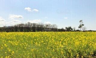 菜の花畑と青空の写真・画像素材[4685011]