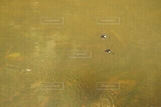 水面を飛ぶ夫婦トンボの写真・画像素材[4685045]