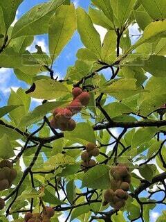 「不思議な実」を持つコブシの木の写真・画像素材[4754216]