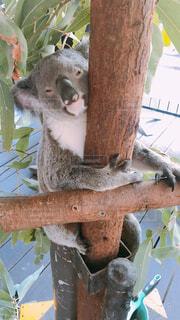 コアラの抱っこ体験の写真・画像素材[4431144]
