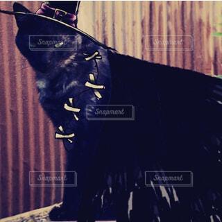 ハロウィン用黒猫仮装素材の写真・画像素材[4337528]