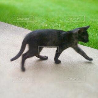 芝生をバックに移動する黒猫さんの写真・画像素材[4359083]