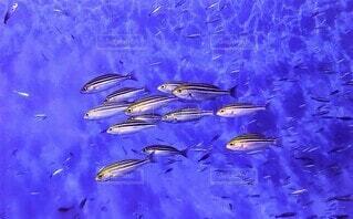 水の下で泳ぐ魚の写真・画像素材[4343631]