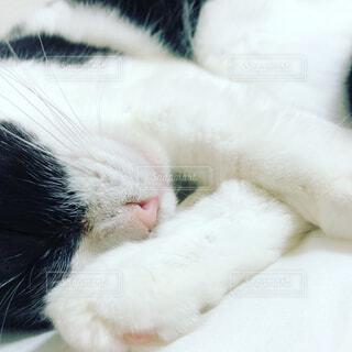 可愛い猫の寝顔の写真・画像素材[4342660]