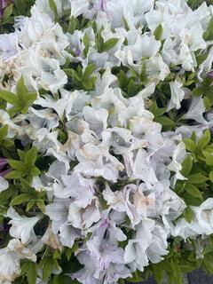 白い花の写真・画像素材[4347468]