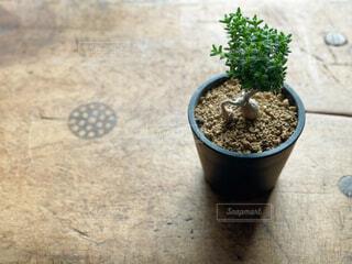 塊根植物トリコデアデマの写真・画像素材[4348141]