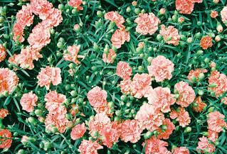 ピンクの花畑の写真・画像素材[4352590]