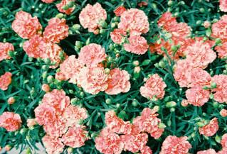 ピンクの花畑の写真・画像素材[4352593]