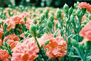 ピンクの花畑の写真・画像素材[4352595]