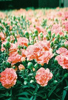 ピンクの花畑の写真・画像素材[4352623]