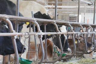 牛舎の写真・画像素材[4383024]