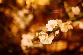 夜の梅の写真・画像素材[1059515]