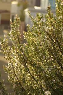 庭先のローズマリーの写真・画像素材[4363507]