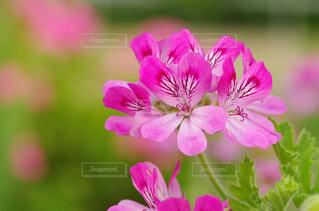 ローズゼラニウムの花の写真・画像素材[4369422]