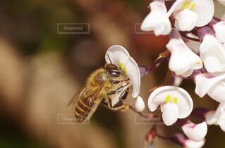 ミツバチとハーデンベルギアの花の写真・画像素材[4369425]