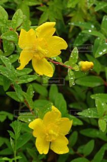 雨の日のキンシバイの花の写真・画像素材[4370003]