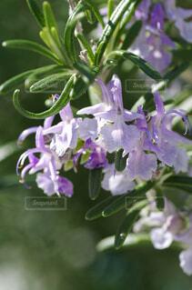 ローズマリーの花のクローズアップの写真・画像素材[4373957]